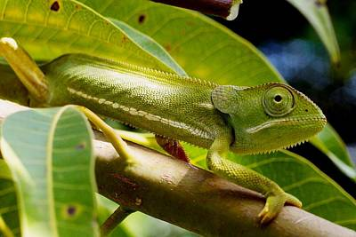 Photograph - Our Chameleon 08 by Dora Hathazi Mendes