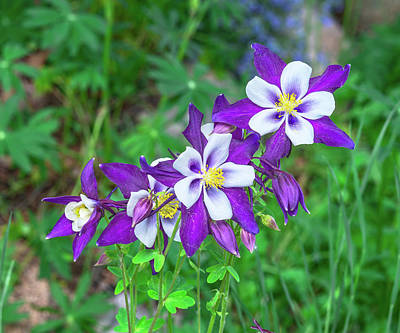 Photograph - Our Gorgeous State Flower, Colorado Columbine  by Bijan Pirnia