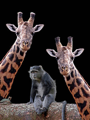 Photograph - Our Wise Little Friend - Monkey And Giraffes by Gill Billington
