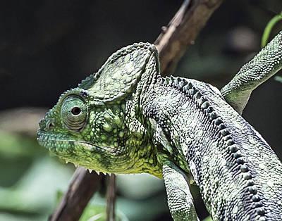 Photograph - Oustalets Chameleon Headshot by William Bitman