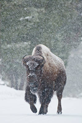 Buffalo Extinction Photograph - Out Of The Snow by D Robert Franz