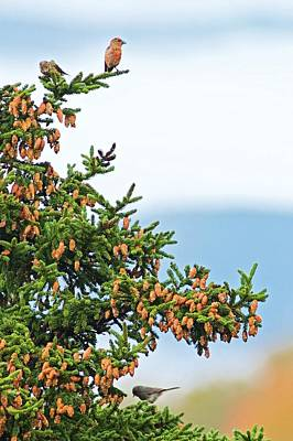 Crossbill Photograph - Out On A Limb # 2 by Matt Plyler