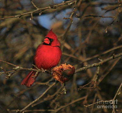 Cardinals. Wildlife. Nature Photograph - Out On A Limb by Robert Pearson