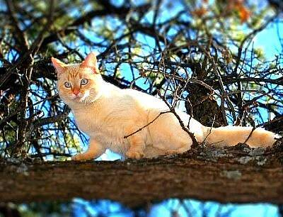 Flame Point Siamese Photograph - Out On A Limb by Toni Blake