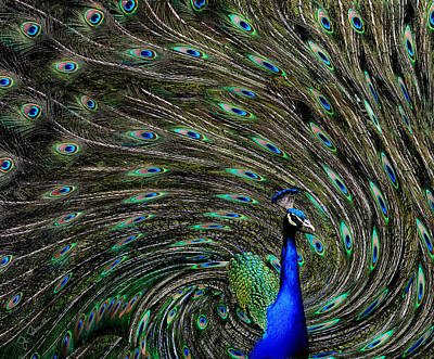 Photograph - Outrageous Peacock by Joe Bonita