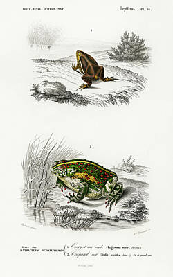 Painting - Oval Frog And Green Toad by Charles Dessalines D' Orbigny