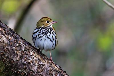 Photograph - Ovenbird by Gary Hall