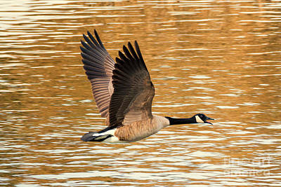Goose Photograph - Over Golden Waters by Mike Dawson