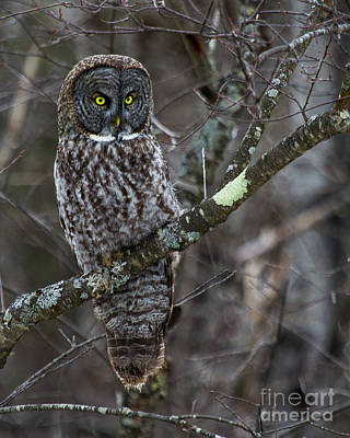 Photograph - Over There- Great Gray Owl by Lloyd Alexander