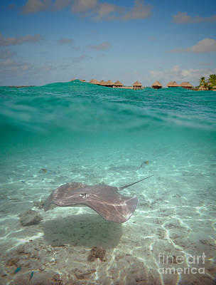 Photograph - Over-under Water Of A Stingray At Bora Bora by IPics Photography