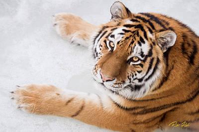 Photograph - Overhead Amur Tiger by Rikk Flohr