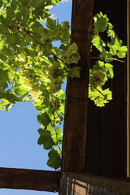 Photograph - Overhead Grape Harvest - Summertime Dreaming Of Fine Wines - A Vertical View by Georgia Mizuleva