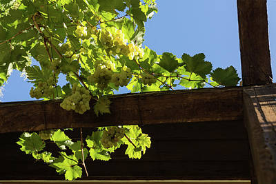 Photograph - Overhead Grape Harvest - Summertime Dreaming Of Fine Wines by Georgia Mizuleva