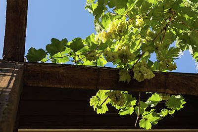 Photograph - Overhead Grape Harvest - Summertime Dreams Of Fine Wine by Georgia Mizuleva