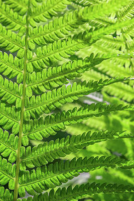 Photograph - Overlapping Ferns by Rick Berk