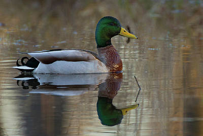 Photograph - Overlooked Mallard  by Timothy McIntyre