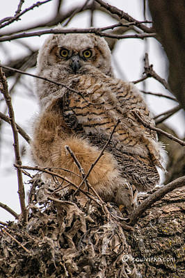 Photograph - Owl # 2 by Paul Vitko