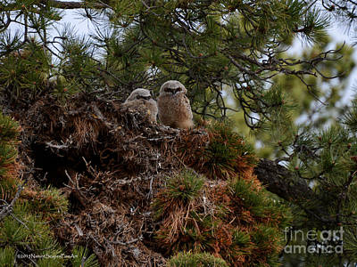 Photograph - Owl Babies Rocky Mountain National Park  by Schwartz Nature Images
