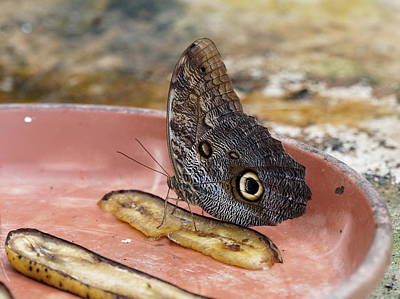 Photograph - Owl Butterfly - 2 by Paul Gulliver