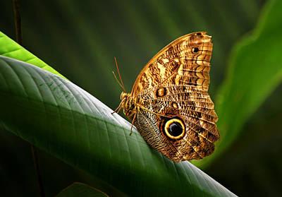 Photograph - Owl Butterfly by Carolyn Derstine