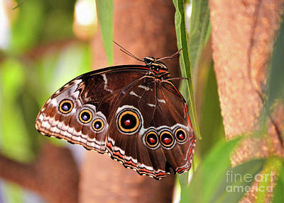 Photograph - Owl Butterfly by Kathy Kelly