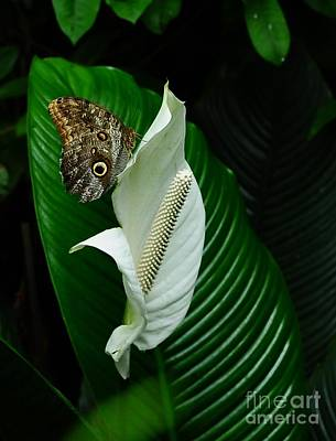 Photograph - Owl Butterfly On Calla Lily by Elaine Manley
