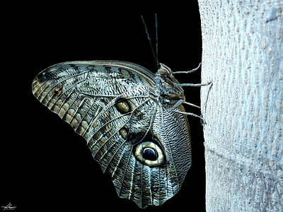 Photograph - Owl Butterfly by Philip Rispin