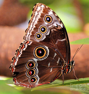 Photograph - Owl Butterfly Portrait by Kathy Kelly