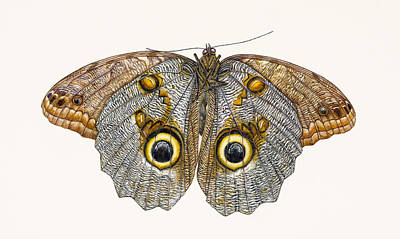 Insects Drawing - Owl Butterfly by Rachel Pedder-Smith
