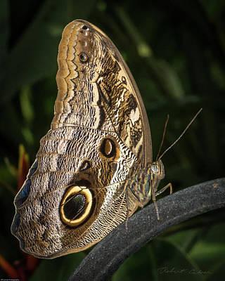 Photograph - Owl Butterfly by Robert Culver