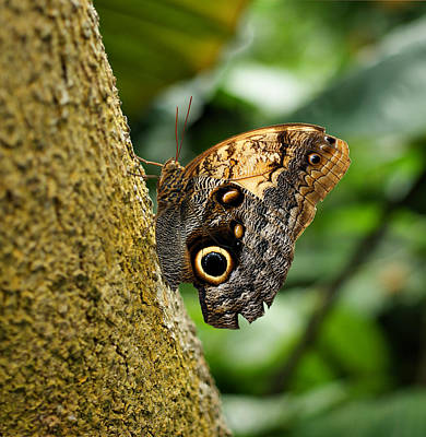 Photograph - Owl Butterfly by Sandy Keeton