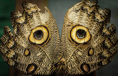 Photograph - Owl Butterfly, Ecuador  by Venetia Featherstone-Witty