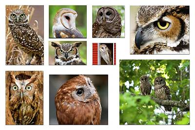 Screech Owl Photograph - Owl Collage by Jill Lang