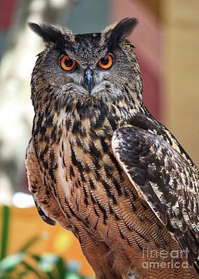 Photograph - Owl Eye Contact by Carol Groenen