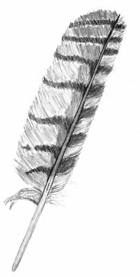 Drawing - Owl Feather by Kevin Callahan