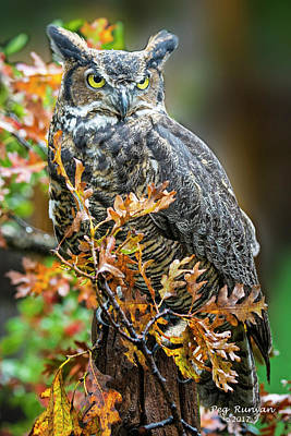 Photograph - Owl In Autumn Oaks by Peg Runyan