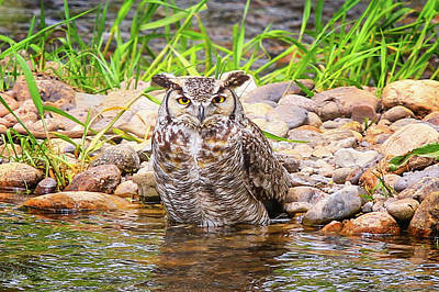 Photograph - Owl In The Creek by Juli Ellen