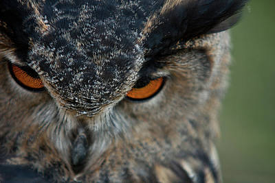 Photograph - Owl by Jos Verhoeven