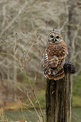 Photograph - Owl Looking Back by Judy Garrard