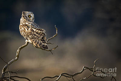 Photograph - Owl Looking Back by Sonya Lang