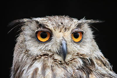 Photograph - Owl by Mary-Lee Sanders