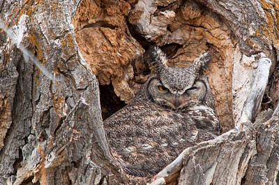 Photograph - Owl Nest by Steve Stuller