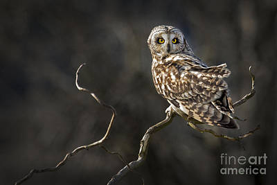 Photograph - Owl On A Branch by Sonya Lang