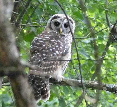 Art Print featuring the photograph Owl On A Limb by Donald C Morgan
