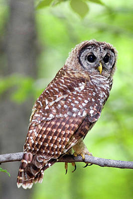 Owl On The Prowl Art Print by Timothy McIntyre