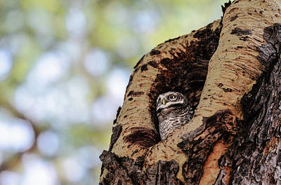 Photograph - Owl Resting In Tree by Pradeep Raja PRINTS