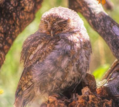 Photograph - Owl Sleep by Kathy Bassett