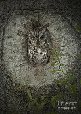 Photograph - Screech Owl Stare by D Wallace