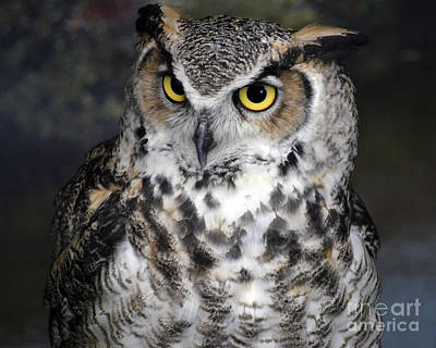 Owl Print by Steven Brennan