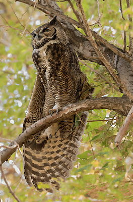 Photograph - Owl Stretch by Loree Johnson